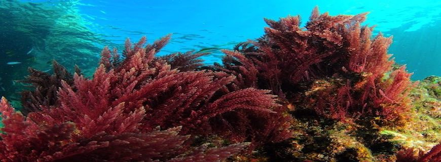Red Marine Algae for HPV and Other Viruses